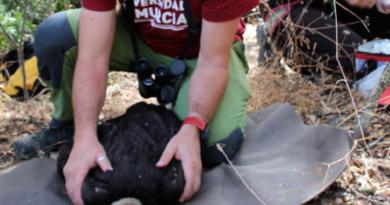 SERTOXMUR investiga con el Hawk Mountain Sanctuary la presencia de contaminantes en la sangre de buitres negros de Portugal